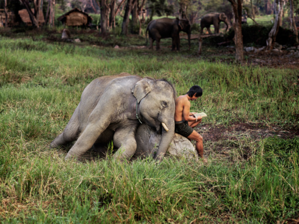 Steve McCurry: Elephant and Man Reading Chiang Mai, Thailand, 2010 Signed, titled, dated and numbered on verso C-print 50 x 60 cm // 76 x 101 cm // 101 x 152 cm Editioned