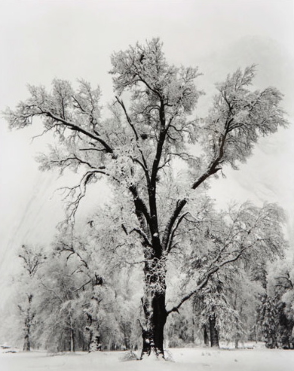 Ansel Adams Oak Tree Yosemite National Park Gelatin silver print, printed later Embossed on recto