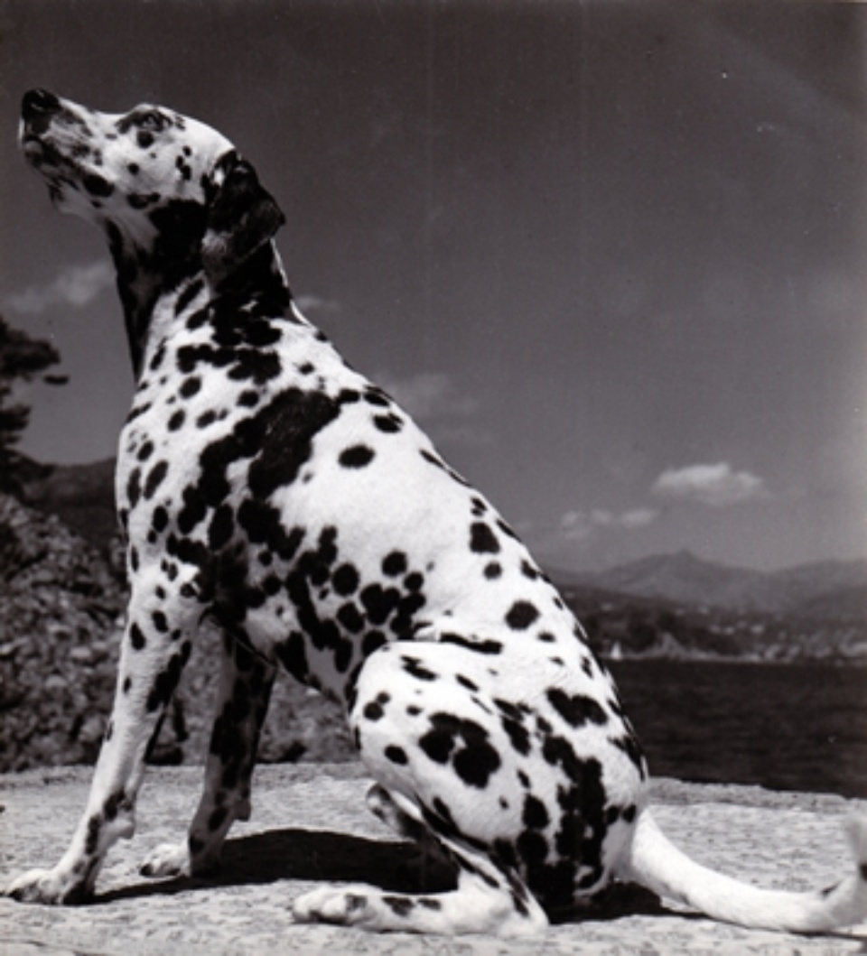 Herbert List Dalmatian at the beach Portofino, Italy, 1936 Vintage Gelatin Silver Signed with ink on verso 13,5 x 12,5 cm