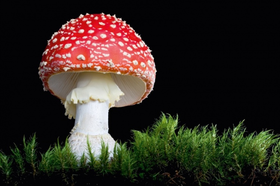 Rainer Harf: Amanita Muscaria #1 Fine art print Signed, titled, dated and numbered 50 x 70