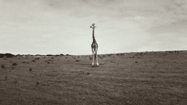 Silke Lauffs: Giraffe wandering the Plains Garden Route Game Lodge, South Africa, 2009 Signed, titled, dated and numbered on mount recto, Artist label on verso Platinum print, printed 2010