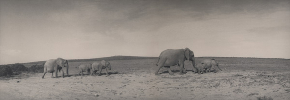 Silke Lauffs Elephant family at Addo Eastern Cape, South Africa, 2009 Signed, titled, dated and numbered on recto, Artist label on verso Toned gelatin silver print Ed. 6/2