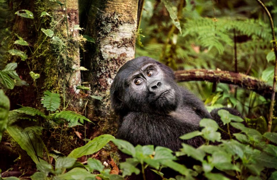 Gorilla Uganda, 2017