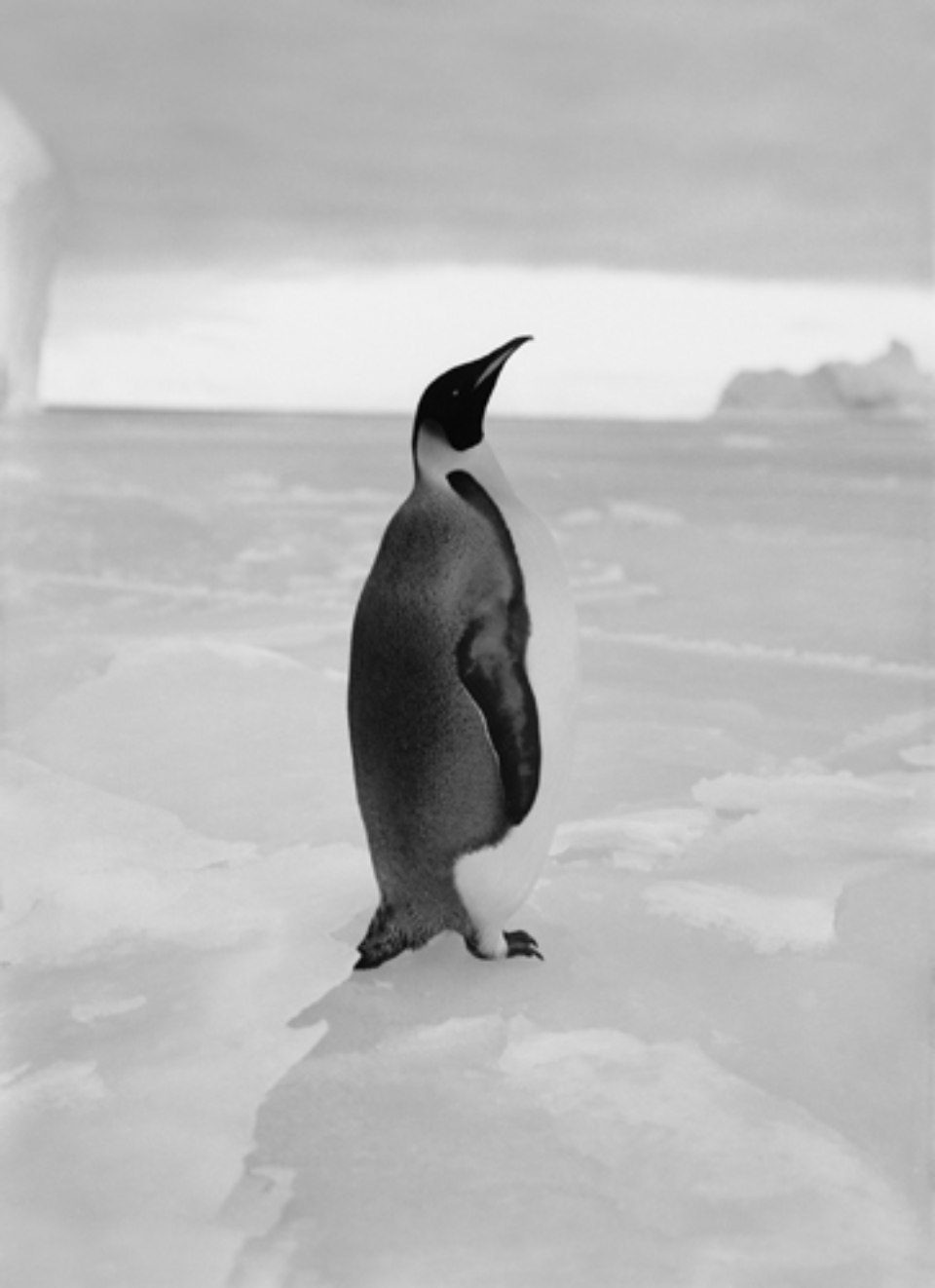 Herbert G. Ponting: An Emperor Penguin Embossed on recto, numbered on verso Modern Platinum palladium print Two different sizes available Ed. of 20