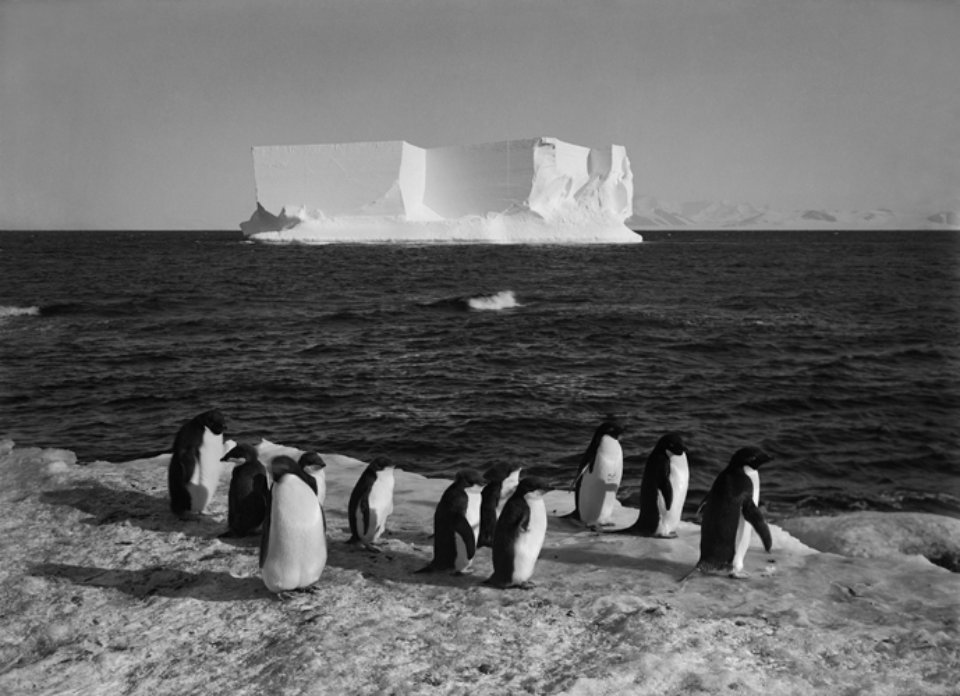 Herbert G. Ponting: Penguins and a Berg at Cape Royds 13.02.1911 Embossed on recto, numbered on verso Modern Platinum palladium print Two different sizes available Ed. of 20