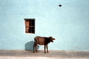 Amy Lyne: Cow and blue Wall Occhra, India 2003 C-print