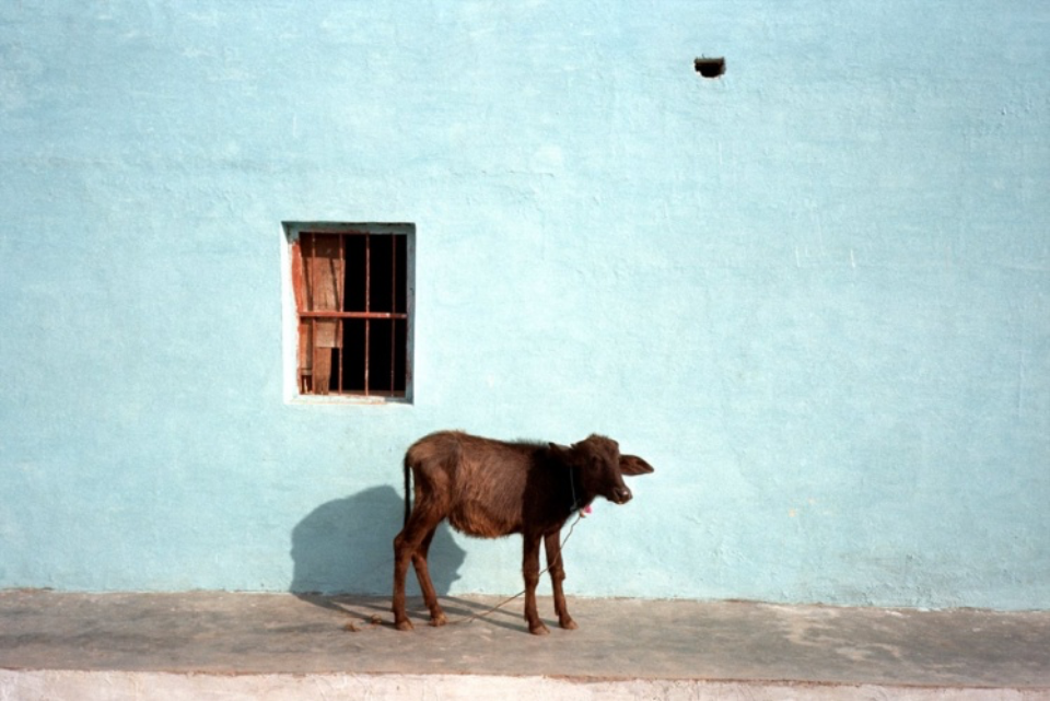 Amy Lyne: Cow and blue Wall Occhra, India 2003 C-print
