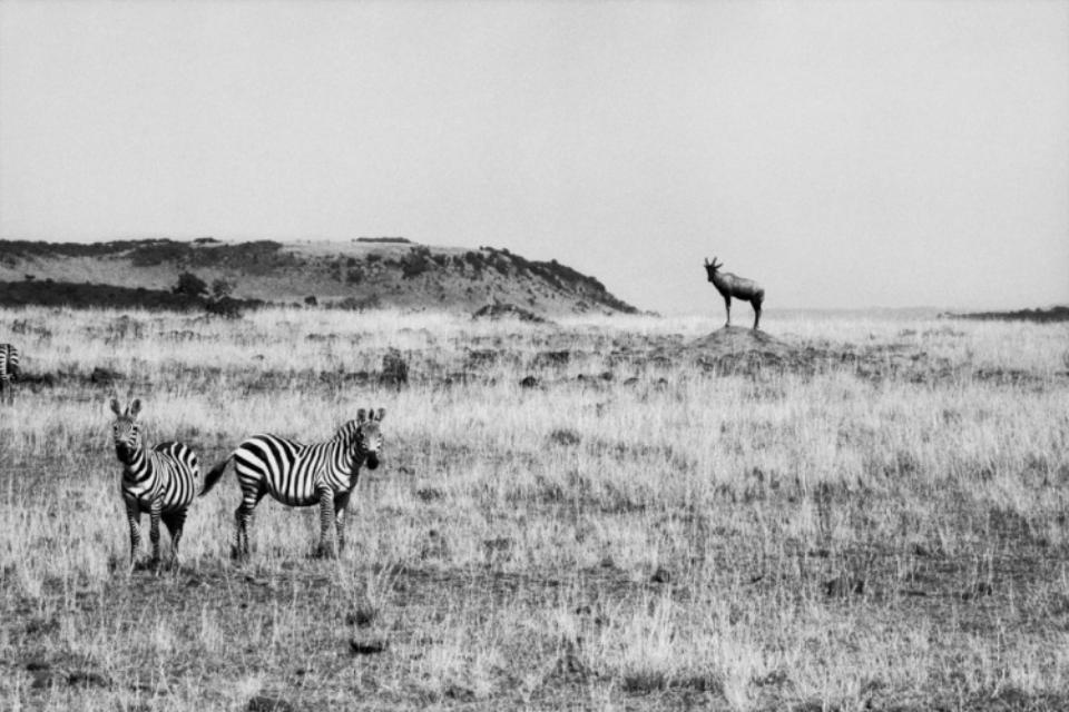 Amy Lyne: Two Zebras and a Antelope Kenya Gelatin silver print