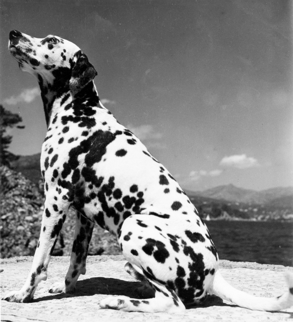Herbert List Dalmatian at the beach Portofino, Italy, 1936